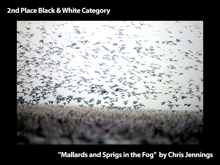 "2nd Place Black & White ""Mallards and Sprigs in the Fog"" by Chris Jennings"