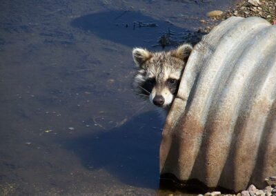 """Raccoon in the Culvert"""