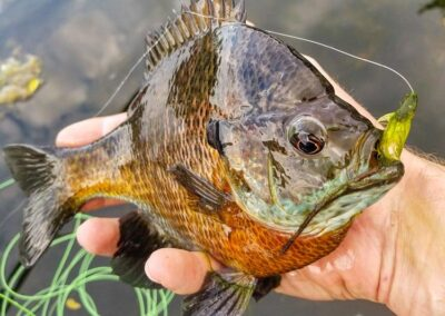 Bluegill on the Fly
